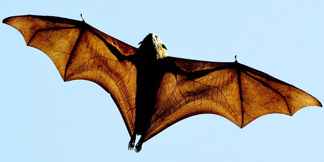 A grey-headed Flying-fox (Pteropus poliocephalus), a native Australian bat, stretches its leathery wings as it flies high over Sydney's Botanical Gardens, 17 August 2005. (GREG WOOD/AFP via Getty Images)