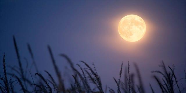 Full harvest moon and corn stalks