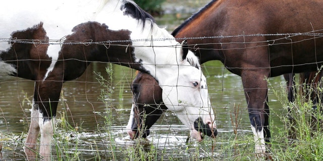 Horses grazing in a flooded yard in Matagorda County following Hurricane Nicholas on Tuesday, Sept. 14, 2021.