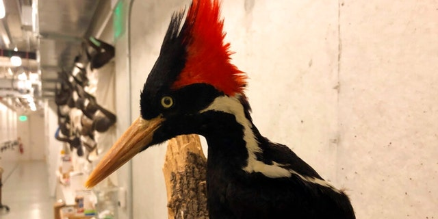 An ivory-billed woodpecker, now extinct, is seen on a display at the California Academy of Sciences in San Francisco, Friday Sept. 24, 2021. Death's come knocking a last time for the splendid ivory-billed woodpecker and 22 assorted birds, fish and other species: The U.S. government is declaring them extinct, the Associated Press has learned. It's a rare move for wildlife officials to give up hope on a plant or animal, but government scientists say they've exhausted efforts to find these 23.