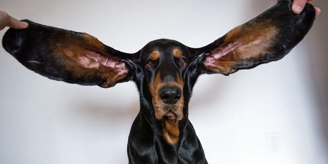 Lou-Longest-ears-on-a-dog-living