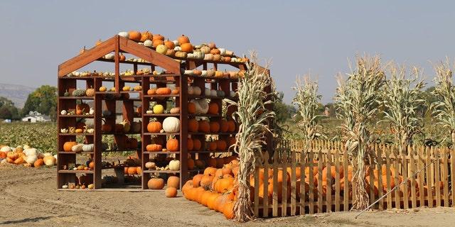 Studt's Pumpkin Patch & Corn Maze has a 12-acre pumpkin patch with 45+ pumpkin varieties to explore.