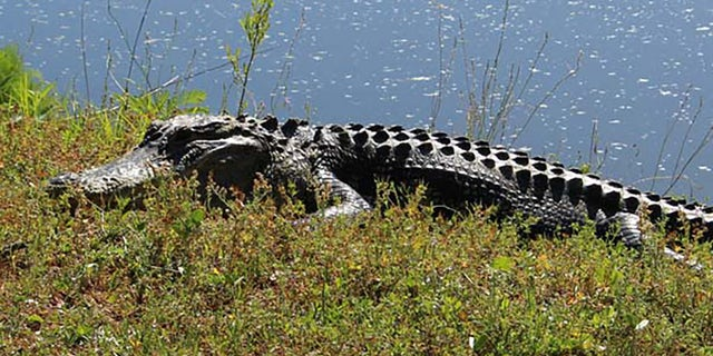 A photo of an alligator that was included in a tweet by the Town of Hilton Head Island Municipal Government on the attack. (Town of Hilton Head Island Municipal Government)