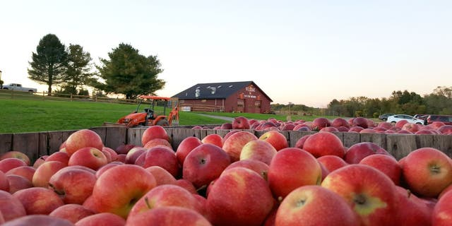 Apple picking at Twin Star Orchard is available from Labor Day until early November.
