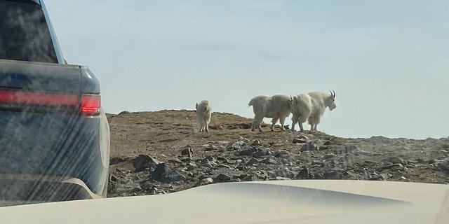 goats-crop.jpg