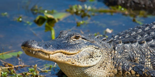 According to the Arkansas Game and Fish Commission, 161 alligators were harvested by hunters in the state.