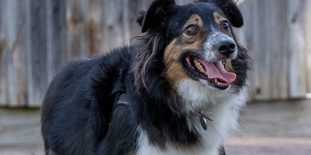 Jane Downes says that her Border Collie Dave didn't seem to have any trouble seeing at all.