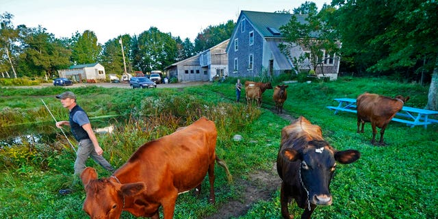 """Phil Retberg leads his cows back to pastures after morning milking on his family's farm, Friday, September 17, 2021 in Penobscot, Maine.  The courtiers are advocates for one """"right to food"""" bill, as they say would be """"an antidote to corporate control over our food supply,"""" and an opportunity for rural areas to become self-sufficient when it comes to what food they grow and eat.  (AP Photo / Robert F. Bukaty)"""
