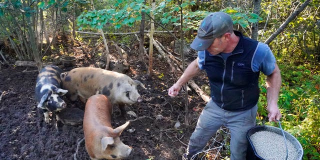 """Phil Retberg feeds his pigs at Quill's End Farm, Friday, September 17, 2021 in Penobscot, Maine.  A voting question will give Maine voters a chance to decide on a first in the nation """"right to food change."""" (AP Photo / Robert F. Bukaty)"""