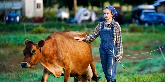 """Carolyn Retberg leads a cow to pasture after morning milking at Quill's End Farm, Friday, September 17, 2021 in Penobscot, Maine.  A voting question will give Maine voters a chance to decide on a first in the nation """"right to food change."""" (AP Photo / Robert F. Bukaty)"""
