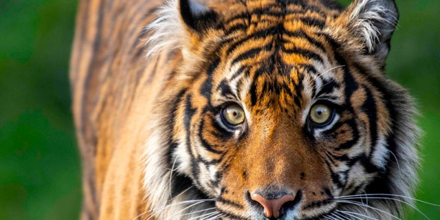 Kirana, a 6-year-old female Sumatran tiger at the Point Defiance Zoo and Aquarium in Tacoma, died Monday from injuries she suffered during a breeding introduction with a mate, zoo officials said.