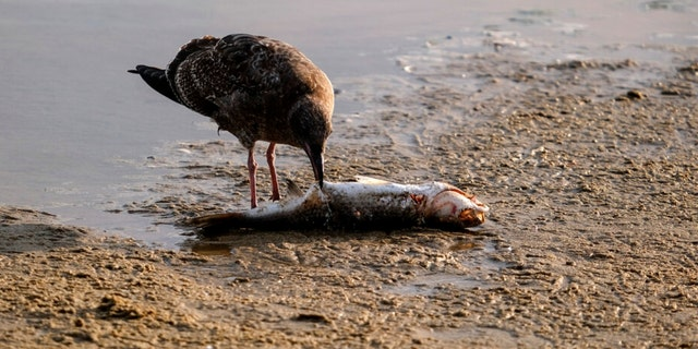 A seagull eats a dead fish after an oil spill in Huntington Beach, Calif., on Monday, Oct. 4, 2021.