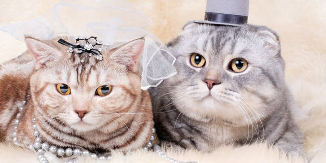 A bride and groom couple's costume is a great option if you want to keep two pets dressed in a cohesive theme.