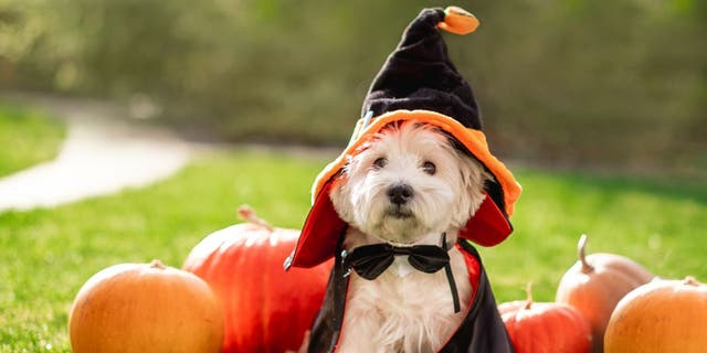 A witch costume can be purchased or recycled from Halloweens past. Just make sure it's sized right for your pet.