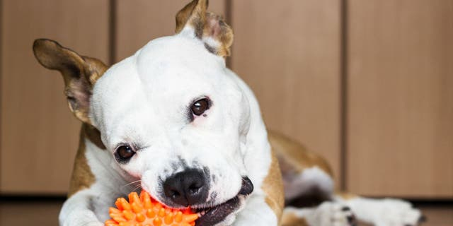 Dogs selected to participate in the Genius Dog Challenge were able to identify more than 28 toys by name.