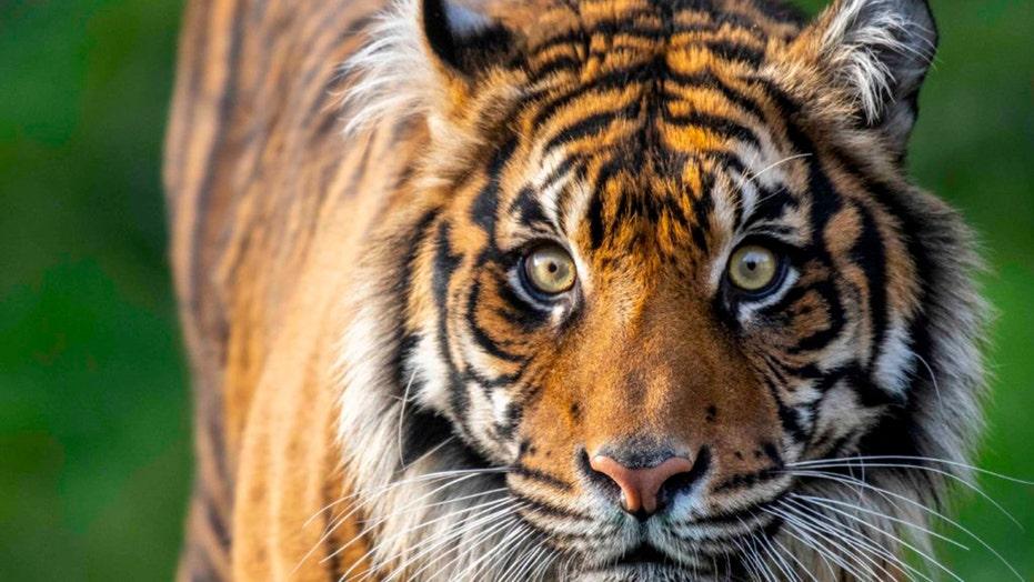Endangered Sumatran tiger dies at Washington zoo after suffering severe injuries during breeding introduction