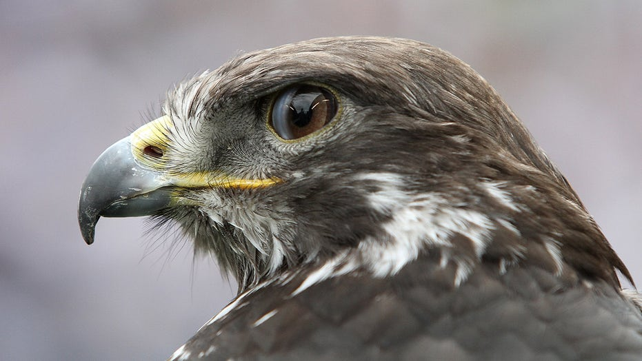 Taima the Hawk harasses Seahawks fan during game vs. Rams