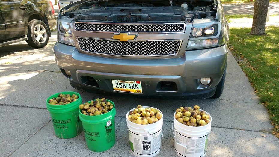 Squirrel hid 175 pounds of nuts in Chevy Avalanche pickup while owner was away