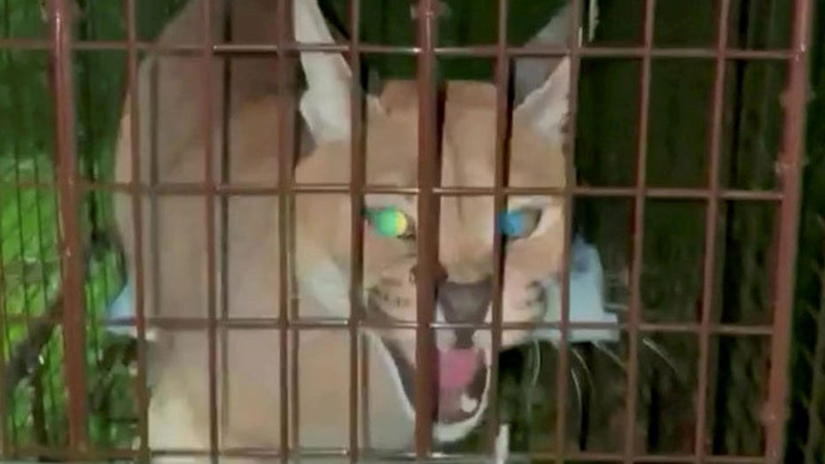 Large cat escapes cage in suburb near Detroit