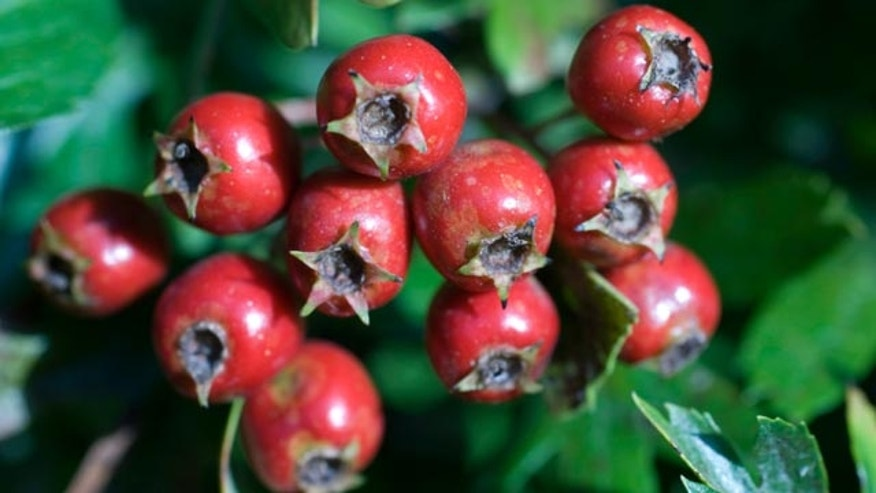 The Medicine Hunter, Chris Kilham tells us about the heart healthy benefits of hawthorn berry