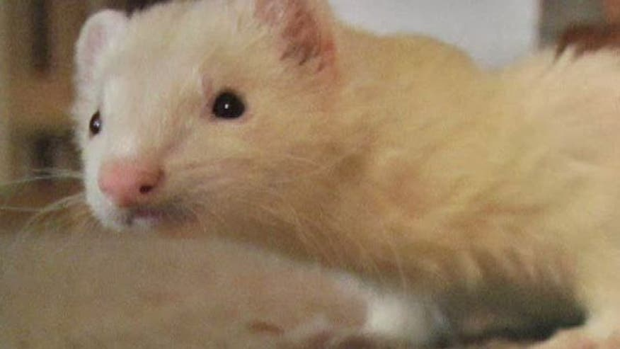 Pet owners seek change in law banning ferrets in California; the only state in the continental US where ferrets are illegal