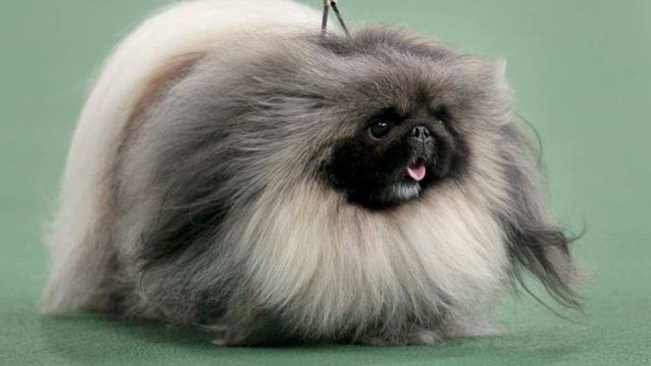 Pekingese wins best in show at Westminster Dog Show