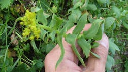 Rhodiola rosea, an herb deriving from Siberia and China, has shown benefits as an antidepressant agent in a recent study.