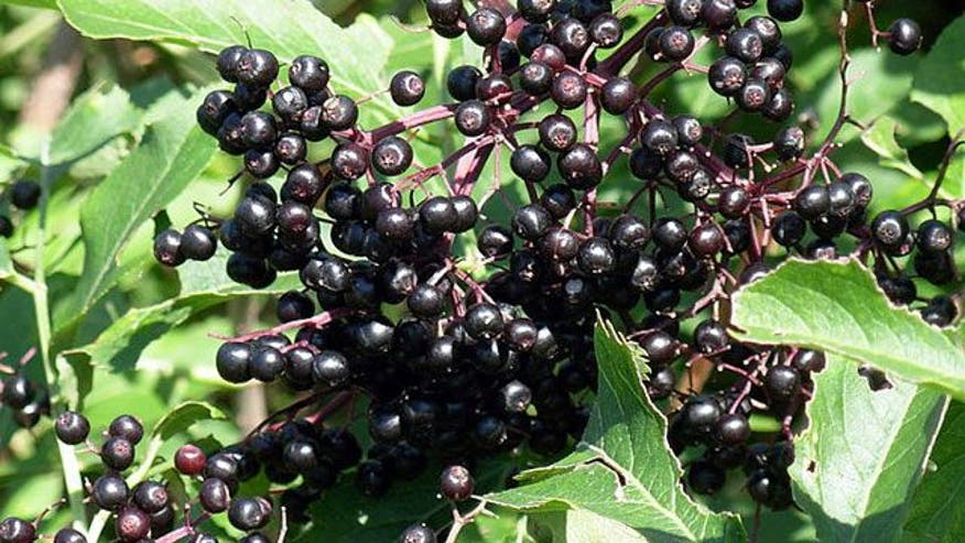 Q&A with Dr. Manny: I've been hearing a lot about the health benefits of elderberry juice, especially to help fight viruses like cold and flu. But I've heard the benefits don't stop there. Should we be adding this to our diets?