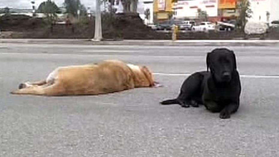 Loyal Labrador keeps watch over dog struck by car