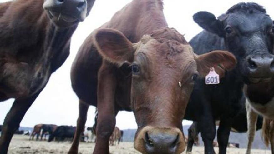 Midwest cattle farmers cry foul