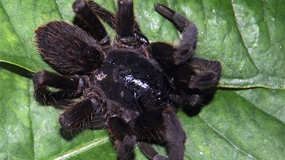 New biting spider causes panic in northeast India