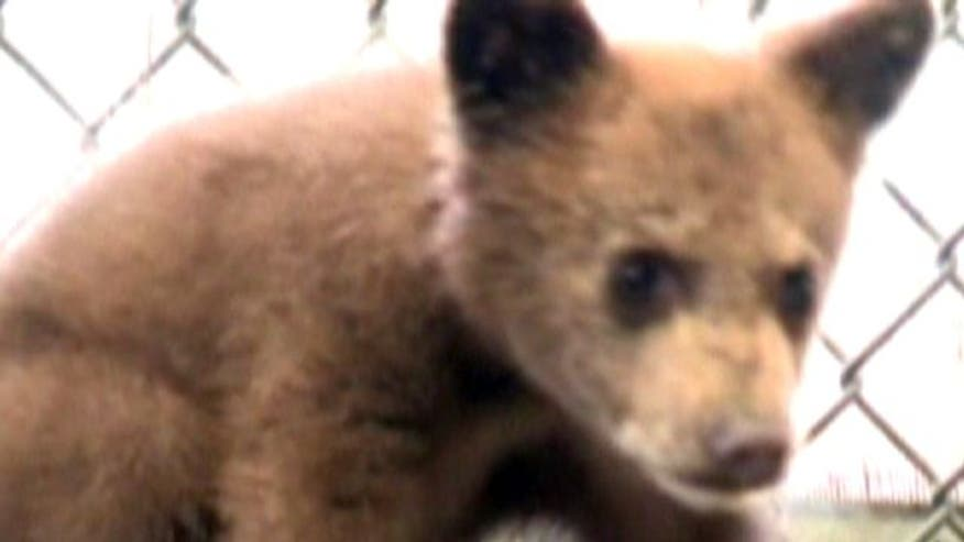 Cubs seized after man tries to sell them in California
