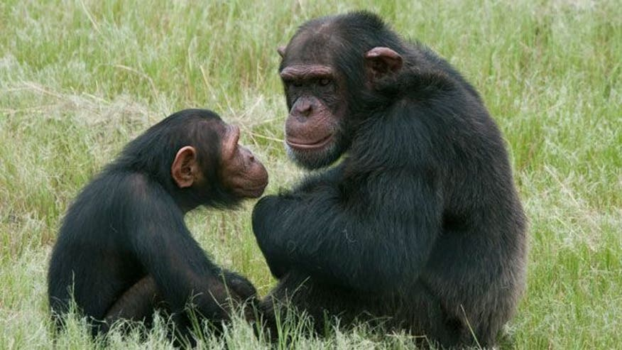 Residents sound alarm after chimps escape