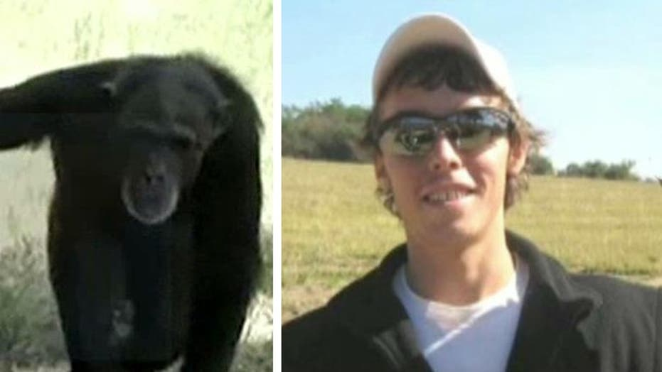 Chimps who mauled US student being reintroduced to refuge