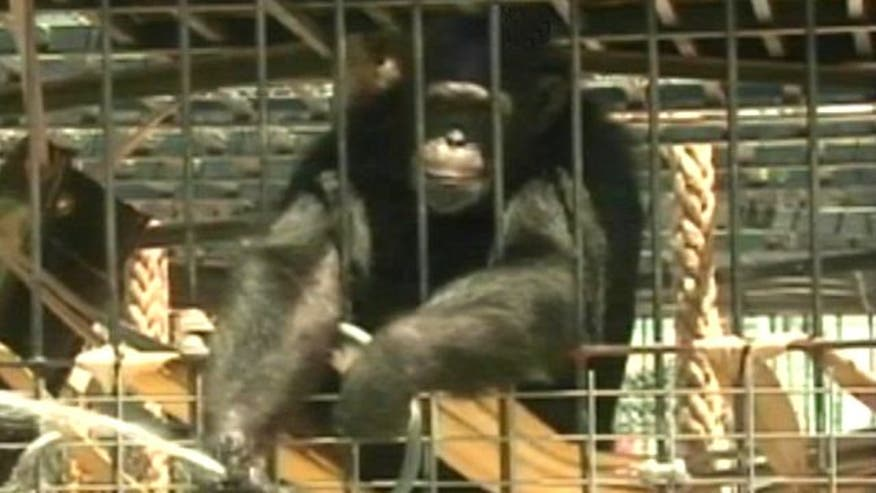 Did animal that ran wild in Las Vegas neighborhood learn how to break free or is someone tampering with the cage?