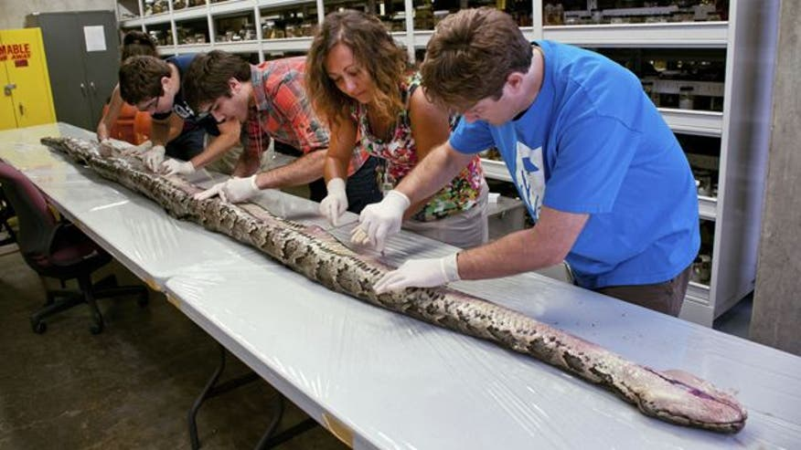 Raw video: Largest Burmese python ever found in state clocks in at over 17 feet long, 164 pounds