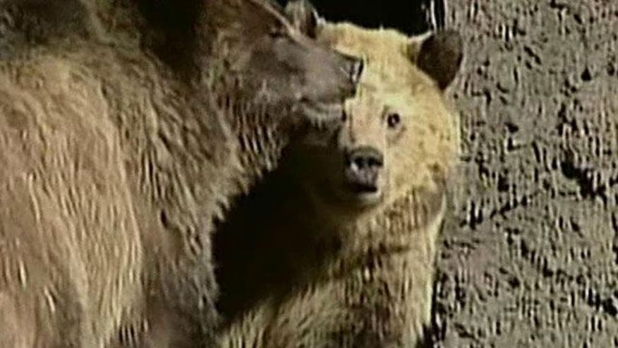 Rangers hunt for rouge bear