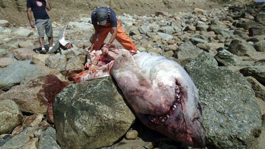 Great white death perplexes marine biologists