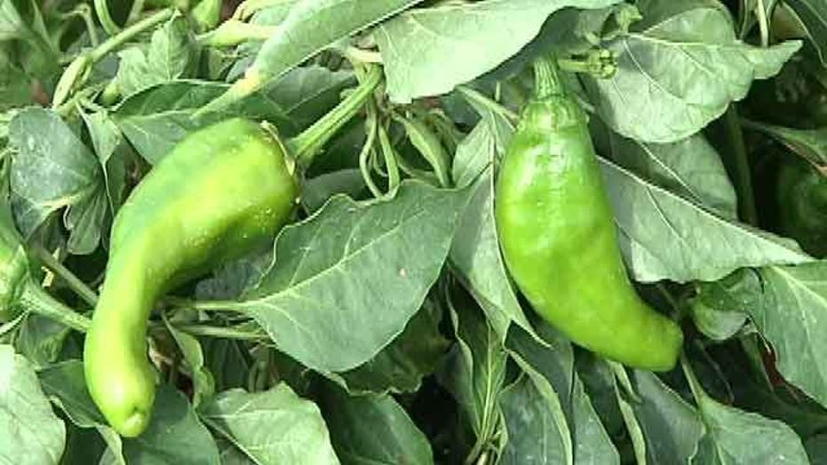 New law stops 'fake' NM chile