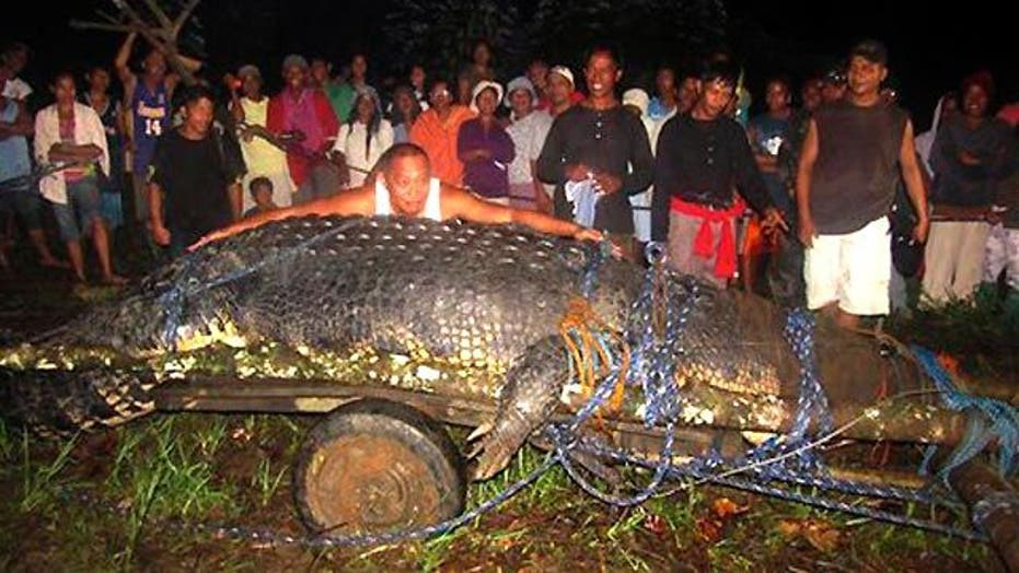 Monster Crocodile Captured in the Philippines