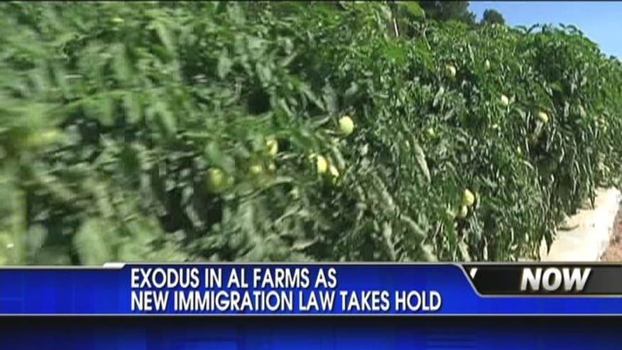 Exodus in Alabama farms as new immigration law takes hold.