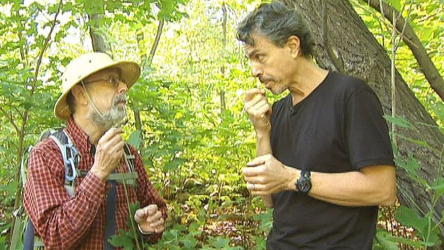 "The Medicine Hunter goes on a foraging tour through Central Park with Steve ""Wildman"" Brill in search of sassafras root.  It's said to help detoxify the liver, and it's the main ingredient in a popular soft drink"