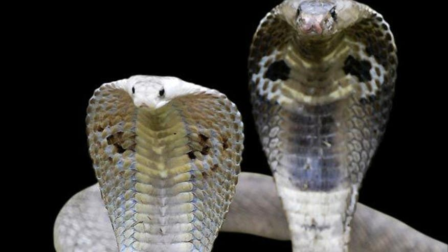 Customs officials found snakes after stopping vehicle