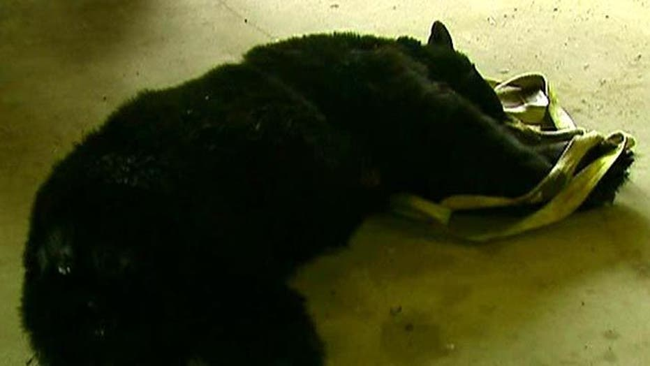 Black Bear Hunt Is On Despite Animal Rights Protest